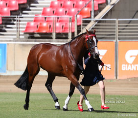 Alana Smith's 'Madam Butterfly' (Dream Higher) placed second in the ANSA Saddlehorse Mare, 4yrs & over, over 15hh class.
