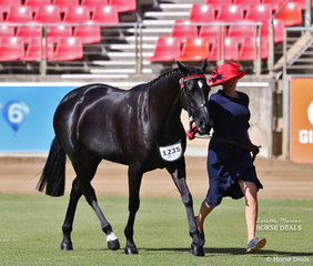 """Combined Equine/ Elle & Mardi Mangan's exhibit """"Kirala Touch of Class' placed sixth in the ANSA Saddlehorse Mare, 4yrs & over, over 15hh class."""
