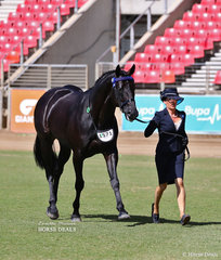 Winner of the Led ANSA Stallion 4 years & over, over 14hh 'Itz Fifth Avenue' and Leanne Jones.
