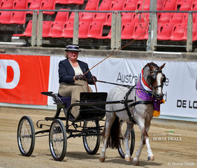 The Dorman Family's exhibit 'Yarra Heights Little Bee' was the Champion Non-Hackney Stallion or Colt in Harness.