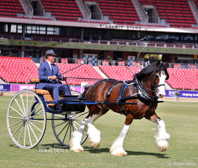 Matthew Marriott driving his  Murroka Clydesdales entry 'Murroka Galaxy' to win the Heavy Show Driving Horse class.