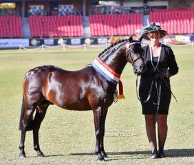 Champion Australian Saddle Pony Colt/Stallion 'Rotherwood Spring Parade' (imp), owned by Alison Doyle and led by Louise Doyle-Ryan.