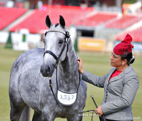 Competitor in the Led Thoroughbred Mare, 4yrs & over, n.e. 16hh 'Private Valentine' and Mary Holman.