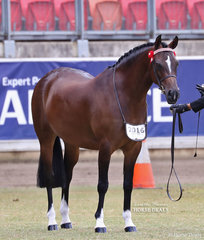 Catriona and Phoebe Sviderskas' entry 'Joemoor Designer Label' won the Australian Saddle Pony Mare, 4yrs & over,  13.2hh & n.e. 14.2hh class, shown by Lori Howell. They were later declared Reserve Champion Australian Saddle Pony Mare/Filly.