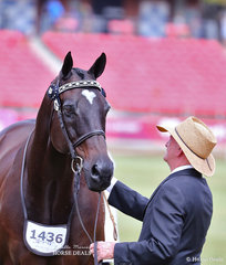 Stephen Gladston's 'Heartbreaker' won the Led Thoroughbred Gelding, 4yrs & over, over 16hh class.