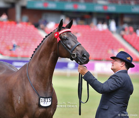 Winner of the Led Thoroughbred Gelding, 4yrs & over, n.e. 16hh 'Octane', led by Paul Austin, exhibited by PAE Group.