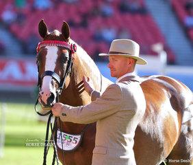 Reserve Champion Arabian Derivative Stallion or Colt 'SPB Noble Dynasty', exhibited by Amanda Jefferys and Willowcroft Stud.