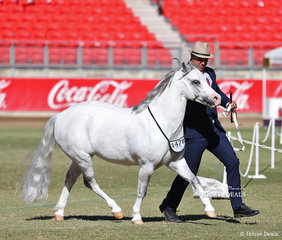 'Bellingara Twilight' was declared Champion Welsh Mountain Pony Mare/Filly, exhibited by B L & C D Hardy.