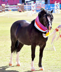 Supreme Champion Welsh In Hand  Exhibit 'Catarqui Hasufel', exhibited by Taylah Lee. Later in the afternoon under saddle they won Champion Ridden Welsh Exhibit.