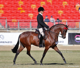 Reserve Champion Galloway 'Royalwood Touch Of Lyric', exhibited by Universal Stables and Sue Oberg, ridden by Adam Oliver.