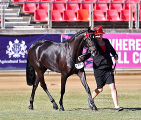 Sally and Craig Cummings' 'Kazwood Park Next Chapter' placed third in the Part Bred Welsh Filly, 2yrs & under class.