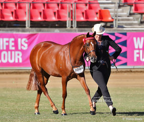 Fourth placegetter in the Part Bred Welsh Filly, 2yrs & under class 'Summerview Aria'. Exhibited by Suburban Lodge Stables and Casey King.