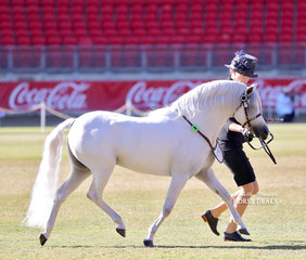 Champion Australian Pony Stallion was the Koorana Pony Stud's entry 'Koorana Royal Descent'.