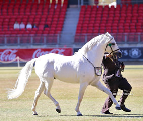 Reserve Champion Australian Pony Stallion 'Koora-Lyn Applause', exhibited by Mrs J Rathbone and Mr Laurie Grima.