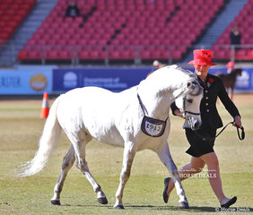 Second placegetter in the Australian Pony Stallion, 4yrs & over, n.e. 12.2hh class 'Monash Park Regal Addition'. Exhibited by Mrs J  Rathbone and Mr Laurie Grima.