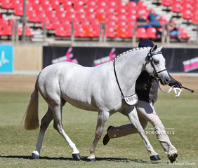 Winner of the Part Bred Welsh Mare, 4yrs & over, over 13hh 'Canyon Sierra', exhibited by Margaret Stephenson.