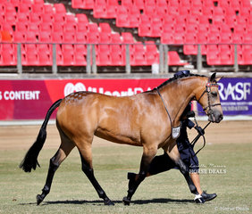 Pictured competing in the Part Bred Welsh Mare, 4 years and over, over 13hh 'Joemoor Special Girl'. Exhibited by Joemoor Pony Stud and Lori Howell.