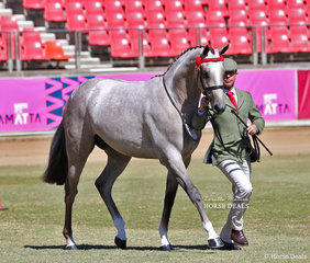 'Westgrove Riverdance' was the Best Part Welsh Gelding winner. Exhibited by Maia and Anthony Warren, shown by Michael Gates.