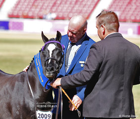 Winner of the Australian Pony Mare, 4yrs & over, n.e. 12hh class went to the Suburban Lodge Stables entry 'Koora-Lyn Pure Silk.