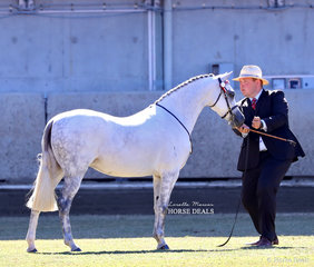 Supreme Champion Australian Pony exhibit was the winner of the Australian Pony Mare, 4yrs & over, over 12.2hh & n.e. 13hh class 'Koora-Lyn Enchanting'. Exhibited by Suburban Lodge Stables and Margie Whyte.