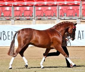 Champion Part Welsh Stallion or Colt 'SPB Noble Destiny', exhibited by Amanda Jefferys & Willowcroft Stud.