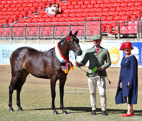 The winner of the Part Bred Welsh Filly 2 years and under class was declared Supreme Champion Part Welsh exhibit, 'Westgrove Homecoming Queen'. Exhibited by Maia and Anthony Warren, led by Cameron Wood, pictured with the Welsh/Part Welsh judge Jenni Cesnik.