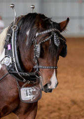 There is nothing that Watermark the Puppet Master cannot do. Under the caring eye of his handler Ronette Williams, Puppet did the Allen family proud all weekend with wins in the led, ridden, long reining and versatility classes.