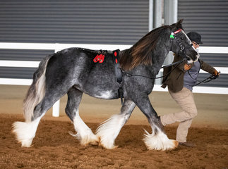 It's fantastic to see the next generation out and starting their show career! Upcoming stud colt Glyndower Brea D'Artagnan and proud owner Lee Scown, were awarded first place in the Colt / Stallion Jackpot, competing in a strong field.