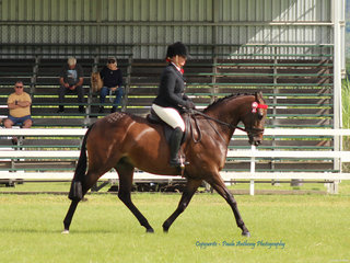 Reserve Champion Novice Galloway  exhibted by Susan Chapman