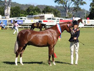 Champion Led Pony Bamborough Ari exhibited by Liz Davis