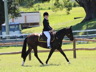 Ridden Australian Stock Horse