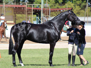 Champion Warmblood exhibit shown by Patrick Everingham for lindsey Blanch