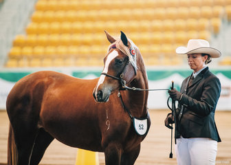Champion Led Yearling, Attila Park Silhouette shown by Stacey Drew.