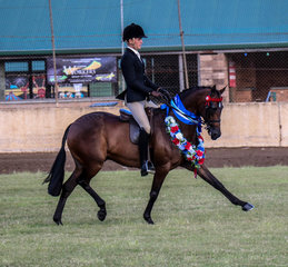 Astoria Katkin owned by the Sears family and shown by Universal Stables -  Champion Small Galloway