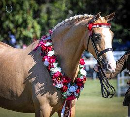 Revelwood Noble Dream, Owner Angela Unsworth Handler Tyler Buchanan winner of supreme led on Saturday sponsored by Wilson Equestrian