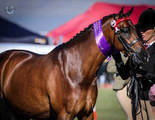 Malibu Park Top This Elise Cameron Champion led open show pony