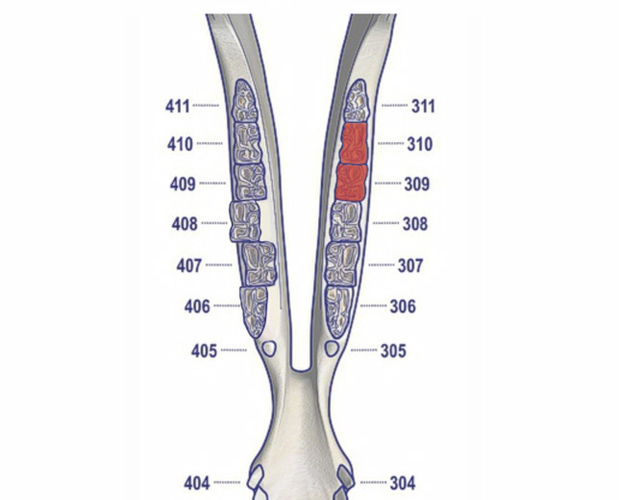 The dental chart showing the teeth that were removed highlighted red. The circles indicate that the horse did not have those teeth present.