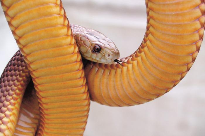Mulga Snake or King Brown