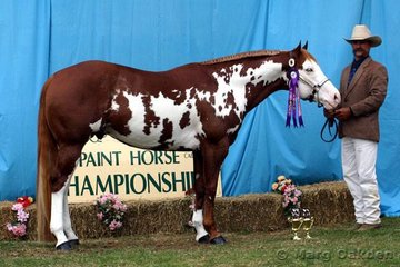 Moonglade Stud's Best Western* was shown by Mark Peek to a win in the 2001 & Older Stallion class.