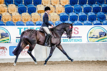"""Champion Large Hack """"The Lawyer"""" owned by the Sears Family & produced by Universal Stables, a beautiful Sequalo gelding flying the flag for the off the track thoroughbreds"""