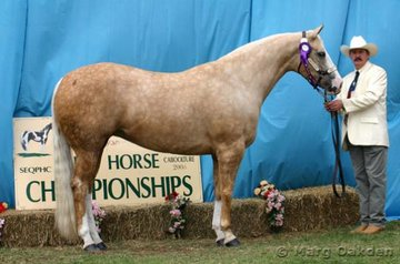 Hallmark Farm's Hot Senorita* was the winner of the Mare 4 Years Old & Over class & was the Grand Champion Female of the show.
