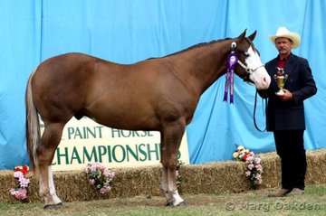 Champion 2004 Gelding & Grand Champion Gelding, Just Can't Compare (J & H McLean).