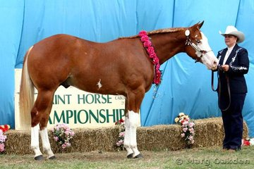 Grand Champion Male & Supreme Paint Horse Exhibit of the Show was SC Showdown exhibited by Karen Lonski.