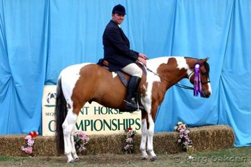 Champion 2002 Stallion & 3 Year Old Hunter Under Saddle, Wizzs Ringer, shown by David Egan for owner Graham Thornton.