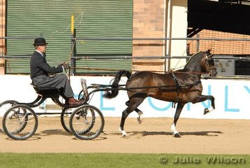 Terry Cowan drove Vince Corvi, Edwina Duddy and his own 'Dunolly Lorenzo' to take second place in the Hackney Pony Turnout class.