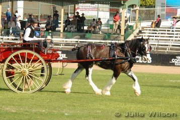 Ross Porter from Federal in NSW drove 'Charlie' to second place in the class for a Single Medium to Heavy Horse in a Fresh Food Vehicle.
