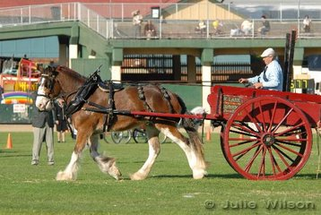 Bill Lark from Pinelands drove his own 'Corinthian Dixie Belle' to fifth place in the Two Wheeled Medium/Heavy Horse Turnout class