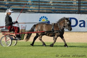 Julia Hardie drove Bill Lark's 'Blossom' to win the Novice Mare/Gelding  Shetland/Miniature Horse/Miniature Pony class.