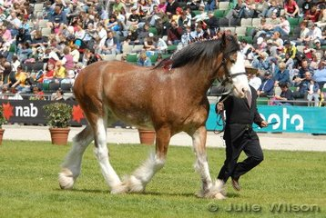 Champion Clydesdale Gelding, Ferndales Viscount exhibited by Foster's Australia Limited.