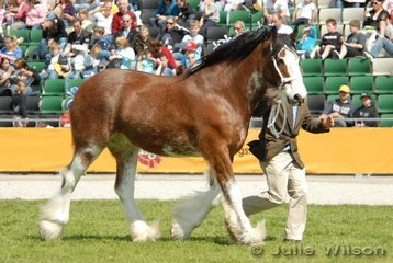 Reserve Champion Clydesdale Gelding, Aarunga Image exhibited by A T Marriott and Sons.